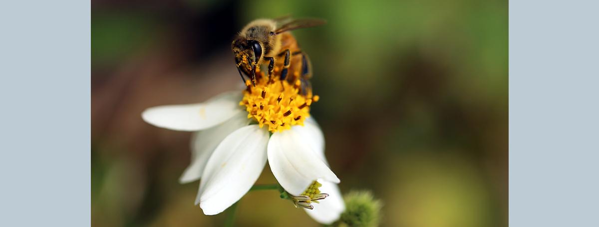 除了增加免疫力,還能抑制攝護腺癌復發的蜂膠