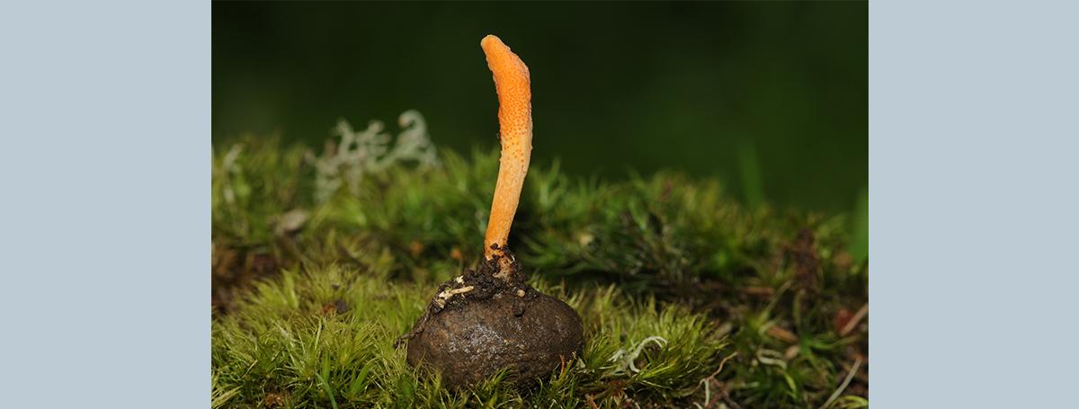 我們與名貴中藥材的距離 — 科學家眼裡的蟲草